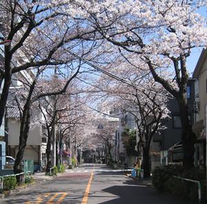 Sakura_road01