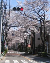 Sakura_road02
